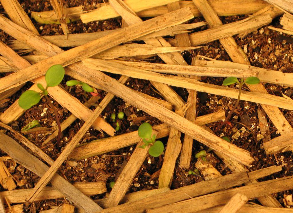 Plants Emerging through Woodstraw